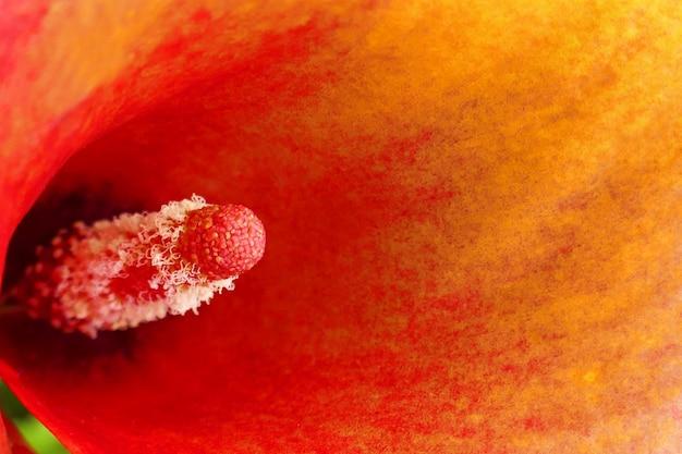 Calla bloem. oranje bloem calla