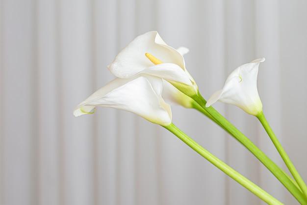 Calla lelieplant bloeit op een witte stoffenachtergrond.