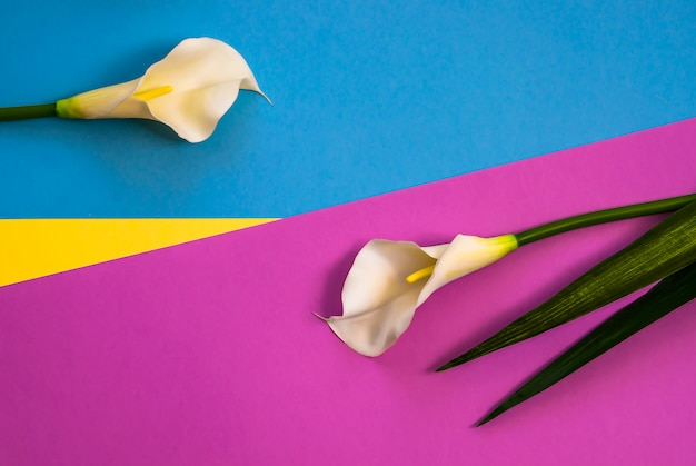 Callas op effen gele, violette en lichtblauwe achtergrond in drie kleuren