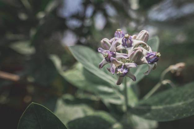 Calotropis gigantea purple love tree