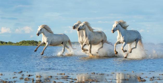 Camatgue-paarden die in het water galopperen