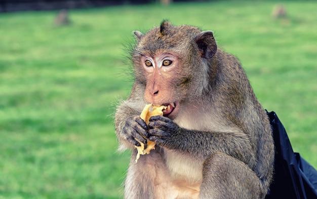 Cambodjaanse aap met lange staart