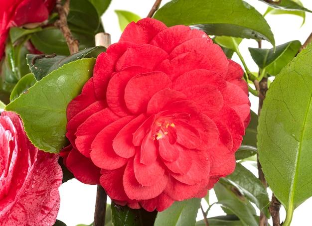 Camellia op witte muur
