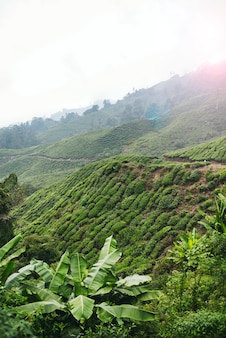 Cameron highlands is een van de wonderen van maleisië, het is het grootste en beroemdste heuvelresort van het land. t
