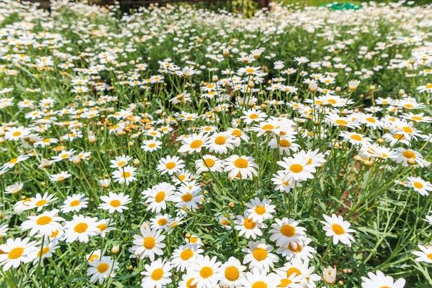 Camomiles madeliefje bloemen veld