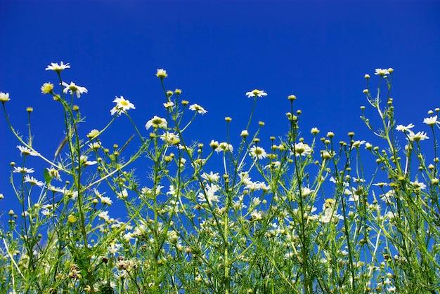 Camomiles op blauwe hemelachtergrond