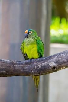 Campeiro papegaai op een tak buiten in rio de janeiro.