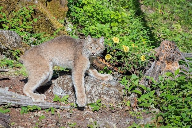 Canada lynx in een boulder-strewn hillside met wilde rozen