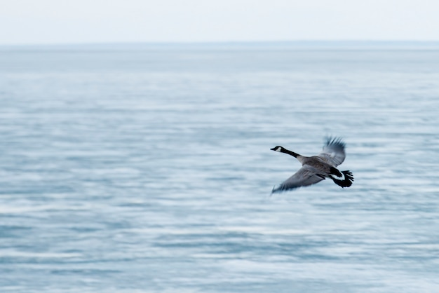 Canadese gans vliegen over het meer van winnipeg, riverton, hecla grindstone provincial park, manitoba, canada
