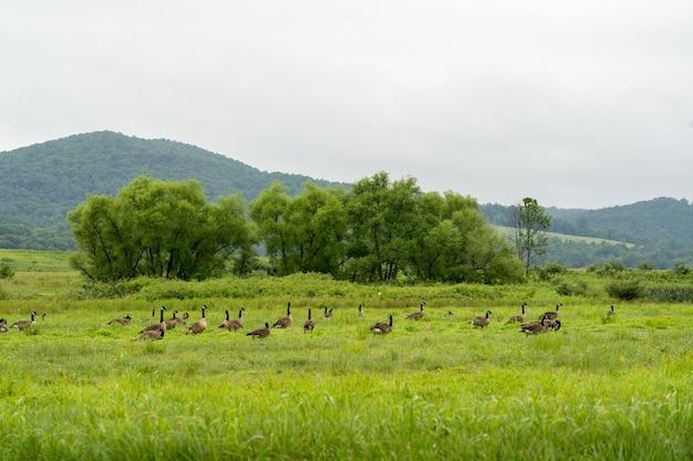 Canadese ganzen in een veld