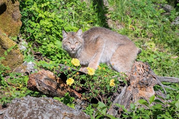 Canadese lynx op een heuvel met wilde rozen