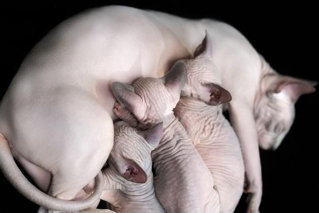 Canadese sphynx-kat liegt en geeft drie haarloze kittens borstvoeding