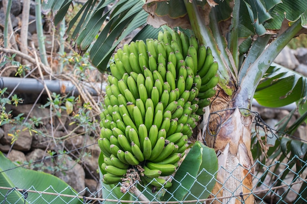 Canarische bananen in tenerife.