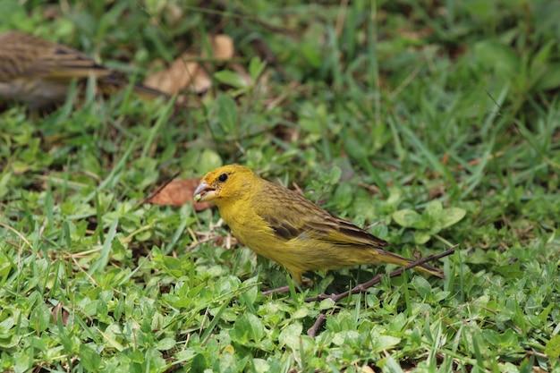 Canarische vogel