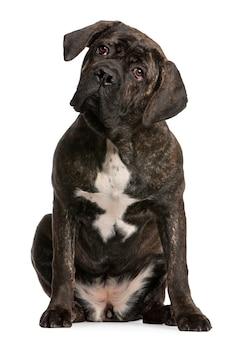 Cane corso, 9 maanden oud. geïsoleerd hondportret
