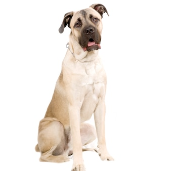 Cane corso hond italiano