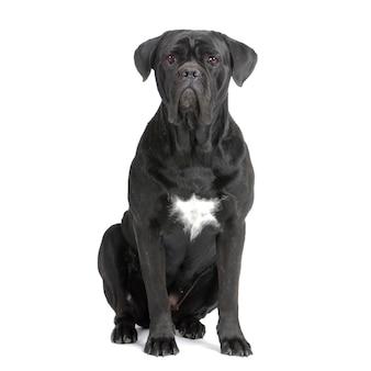 Cane corso hond