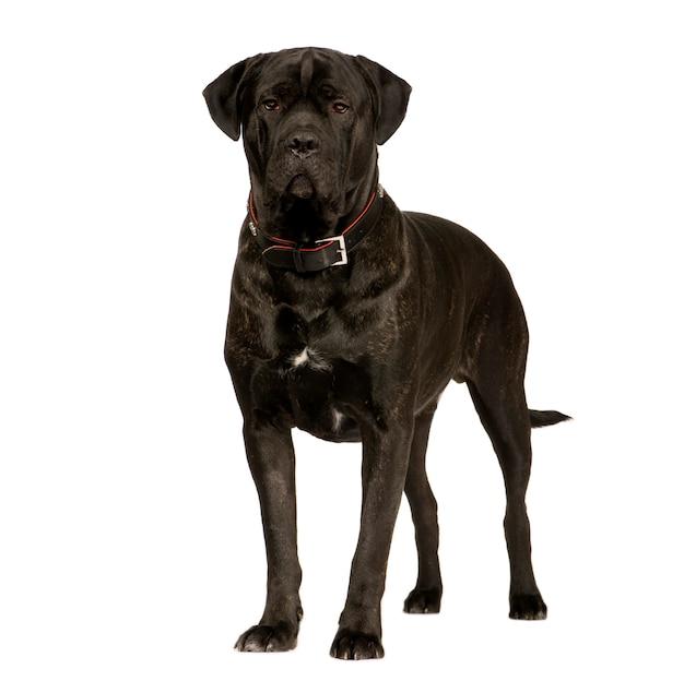 Cane corso met 2 jaar. geïsoleerd hondportret