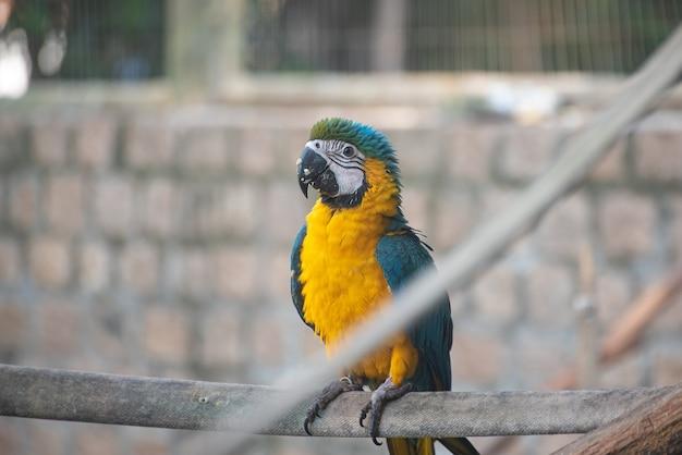 Caninde ara, prachtige ara's in een revalidatiecentrum in brazilië voordat ze terugkeren naar de natuur. natuurlijk licht, selectieve focus.