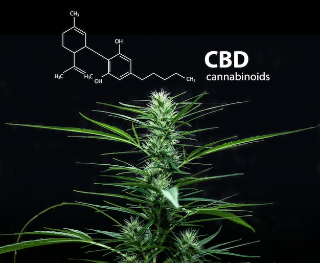 Cannabidiol (cbd) molecuulformule met marihuana, cannabis sativa-bladeren.