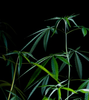 Cannabis bladeren geïsoleerd