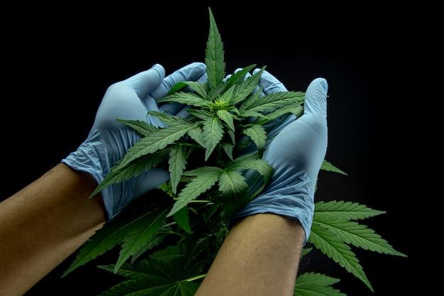 Cannabis bladeren van een plant op donker