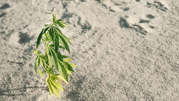 Cannabis kweektechniek, marihuana groeistadium. medische marihuana. achtergrond van hennepbladeren. cannabiskweekconcept