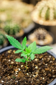 Cannabis marihuana bloem uit zaad