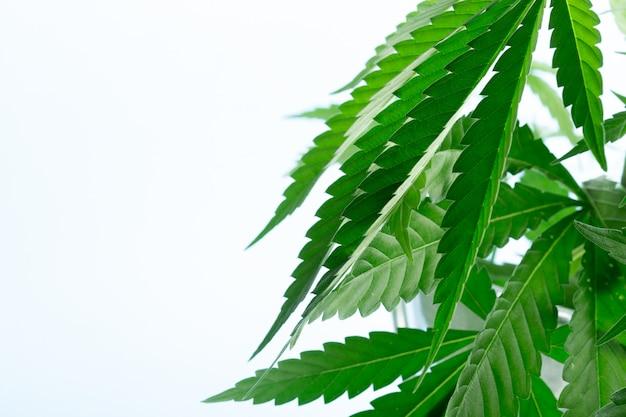 Cannabis marihuana plant detail
