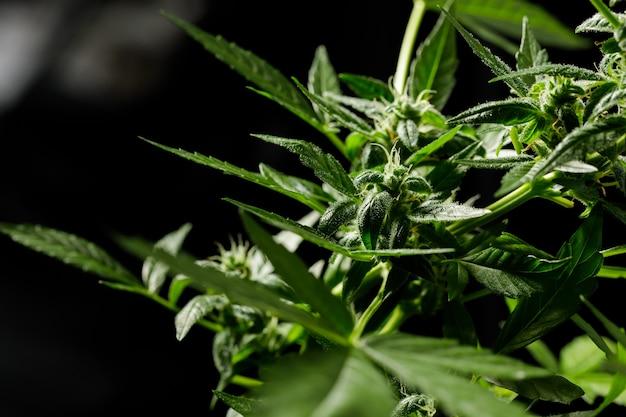 Cannabis op een donkere achtergrond