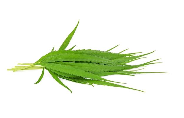 Cannabisblad, marihuana geïsoleerd op witte achtergrond