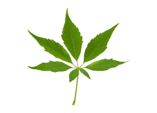 Cannabisblad, marihuanablad dat op wit wordt geïsoleerd
