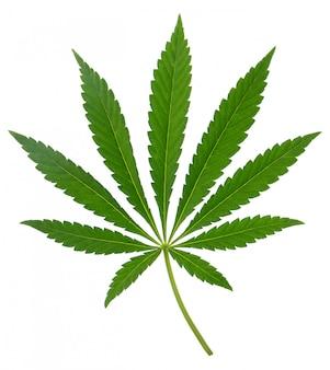 Cannabisblad op witte achtergrond wordt geïsoleerd die