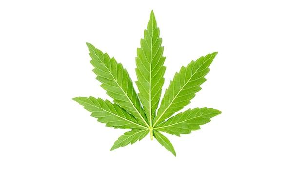 Cannabisblad op witte geïsoleerde achtergrond