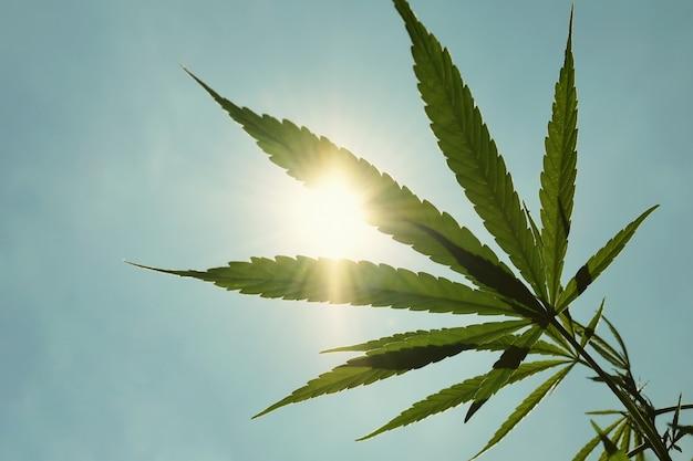 Cannabisblad tegen en zon blauwe hemel