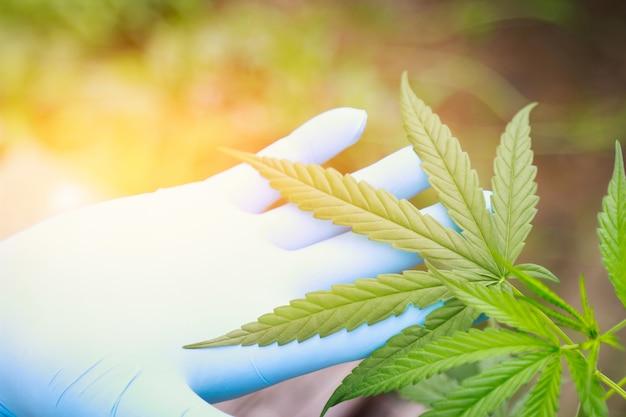 Cannabisboomkruid in huis voor een goede, gezonde remedie