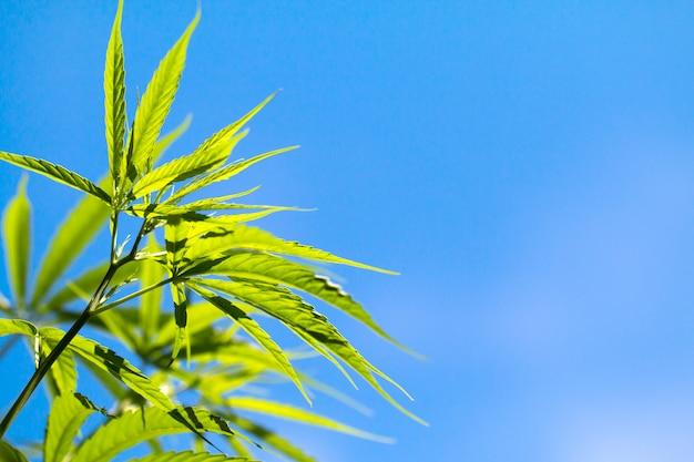 Cannabisplanten op veld met blauwe lucht