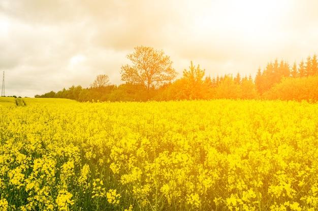 Canola bloemen gele oliezaad bloesem mosterd bloemen close-up op onscherpe achtergrond