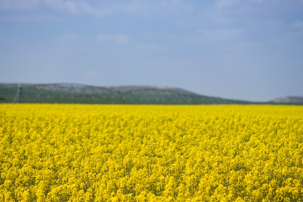 Canola oogst