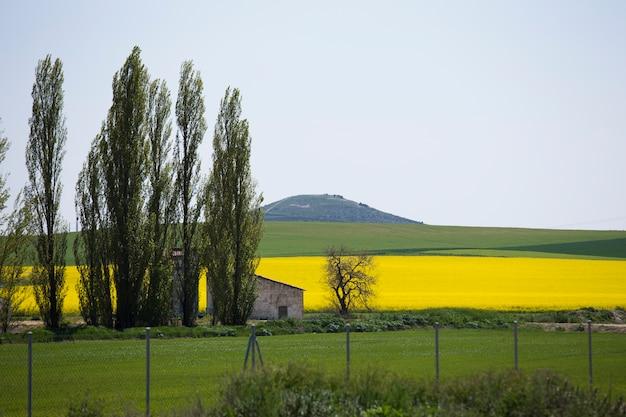 Canola-veld