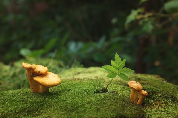 Cantharellenpaddestoelen groeien in mos in het bos.