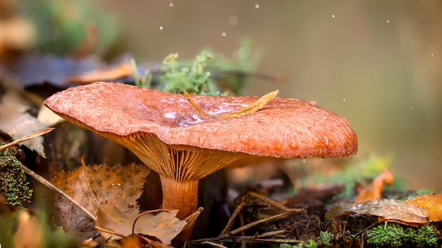 Cantharelpaddestoel in het hout, waardevolle eetbare paddestoel Premium Foto