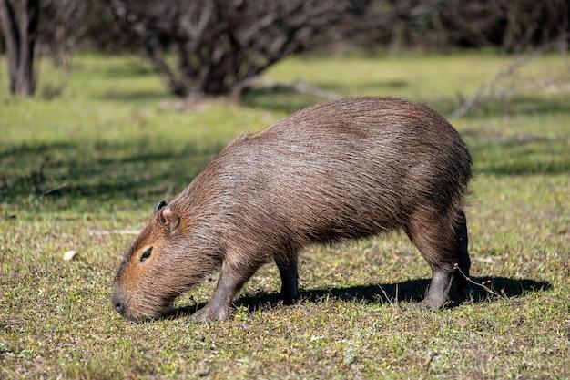 Capibara eten