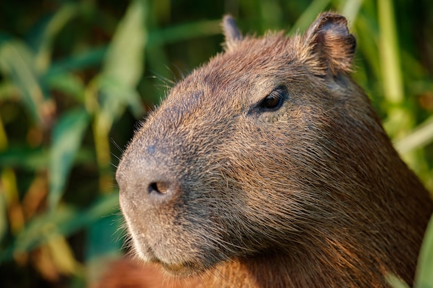 Capibara in de natuurhabitat van noordelijk pantanal