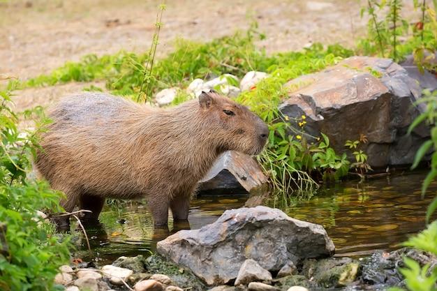 Capibara in de stroom
