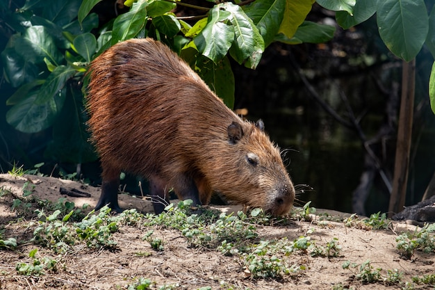 Capibara in zijn natuurlijke habitat