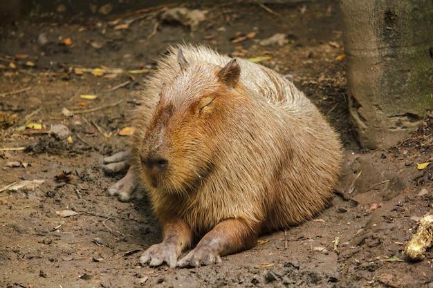 Capibara is in de dierentuin is de grootste rat ter wereld