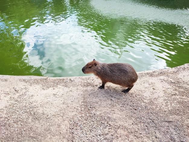 Capibara-volwassene (hydrochoerus hydrochaeris) die aan de vijverkust loopt