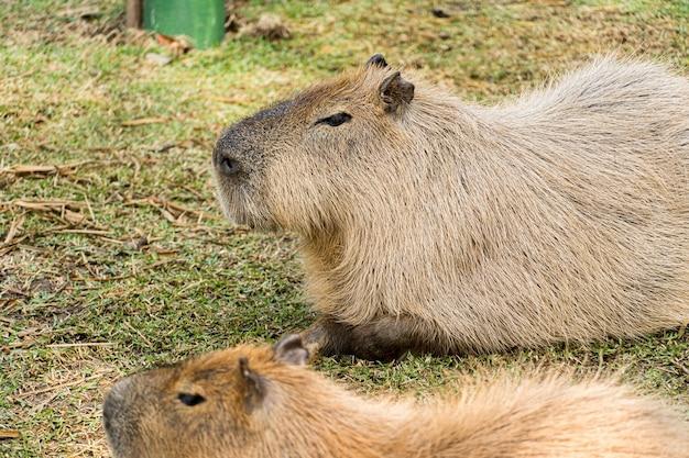 Capybara, ou capivara como ã© conhecida no brazil, in een biopark.
