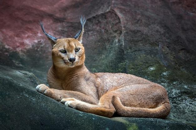 Caracal lynx kat rustend op een rotsachtige vloer